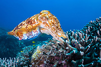 broadclub cuttlefish, Sepia latimanus, about to push the egg that can be seen at the front of its tentacles, into the finger coral where it will hatch in four to six weeks, Philippines, Pacific Ocean