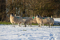 25-1-2021 In lamb ewes out in snow covered Parkland in Lincolnshire <br /> ©Tim Scrivener Photographer 07850 303986<br />      ....Covering Agriculture In The UK....