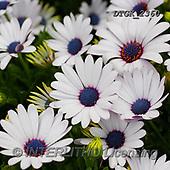 Gisela, FLOWERS, BLUMEN, FLORES, photos+++++,DTGK2360,#F#, EVERYDAY