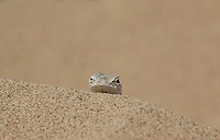 Zebra-tailed lizard, Callisaurus draconoides, Death Valley National Park, California