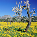 Spain, Mallorca, near Felanitx: crooked, blossoming almond tree | Spanien, Mallorca, bei Felanitx: bluehender, urig gewachsener Mandelbaum