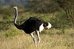 Male Somali Ostrich (Struthio molybdophanes) in breeding plumage. Samburu Game Reserve, Kenya.