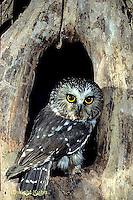 OW02-252d   Saw-whet owl - at nest cavity- Aegolius acadicus