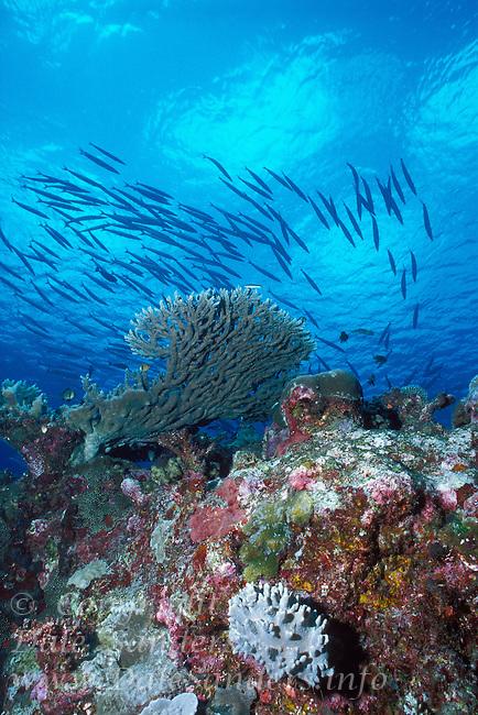 Barracuda school above a coral reef, Republic of Palau, Micronesia.