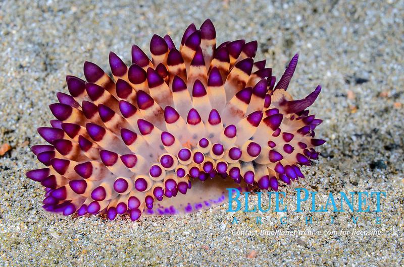 sea slug or nudibranch, Janolus sp., Anilao, Batangas, Philippines, Pacific