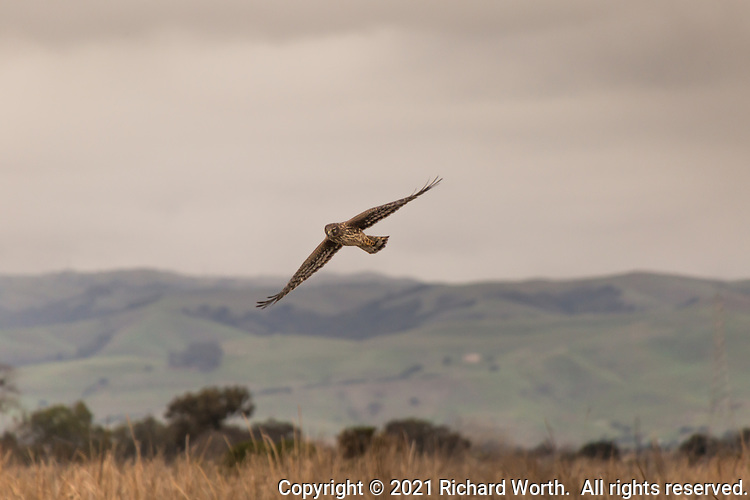 With grace and the aerobatic skill typical of raptors, a Northern Harrier soars over the winter brown grasses of Coyote HIlls Regional Park wetlands with the east bay hills in the background, greened by recent winter rain.typical of raptors, a Northern Harrier soars over the winter brown grasses of Coyote HIlls Regional Park wetlands with the east bay hills in the background, greened by recent winter rain.