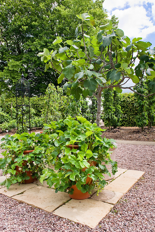 Strawberry Pegasus in strawberry pot container garden on patio, in flower in spring, fruit plants, fig tree Ficus, growing edibles in containers. RHS Wisley Garden, UK
