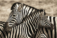 Namibia. Zebras neck, a common social activity. This is a mother and her child necking, which creates a lasting social bond between them.