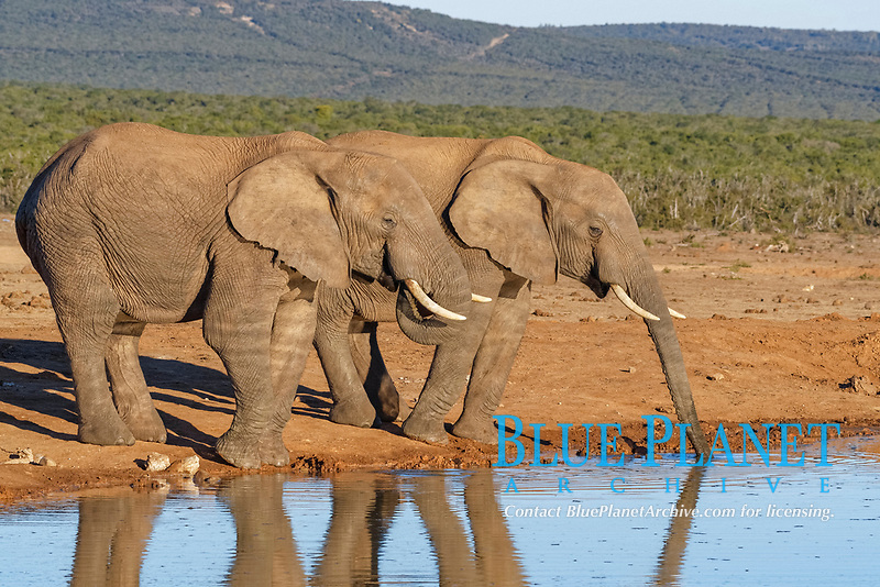 African bush elephants (Loxodonta africana), two adult males drinking at a waterhole, Addo Elephant National Park, Eastern Cape, South Africa, Africa