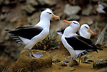Black-browed Albatrosses (Thalassarche melanophris) New Island