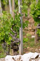 syrah old vine vineyard cornas rhone france