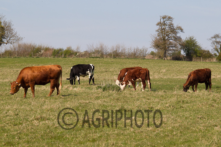 Cross bred beef cattle grazing in the Spring.Picture Tim Scrivener 07850 303986.tim@agriphoto.com.?.covering agriculture in the UK?.