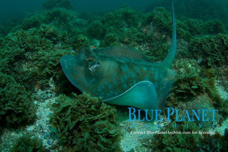 Blue Spotted Stingray, Neotrygon kuhlii, Julian Rocks, Byron Bay, New South Wales, Australia, South Pacific Ocean