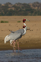 Sarus Cranes on the banks of the Chambal River in Uttar Pradesh, India
