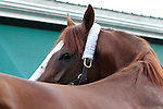 May 17, 2014. California Chrome is back at the barn after winning the 139th Preakness Stakes at Pimlico Race Course in Baltimore, MD. ©Joan Fairman Kanes/ESW/CSM