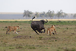NOTE:  ONLINES LIMITED TO 10 IMAGES UNLESS OTHERWISE AGREED ON THIS SET.<br /> <br /> Sequence 16 of 16:  A water buffalo throws off a hungry lion like a bucking bull before escaping.  The animal tries desperately to dislodge a series of the predators which take turns trying to bring it down.<br /> <br /> The male buffalo appears to almost be in a rodeo as it continually bucks to get rid of the attacking pack of around 10 lions.  The unique scene was captured in the Masai Mara National Reserve in Kenya by professional photographer Mathieu Pujol.  SEE OUR COPY FOR DETAILS.<br /> <br /> Please byline: Mathieu Pujol/Naturagency/Solent News<br /> <br /> © Mathieu Pujol/Naturagency/Solent News & Photo Agency<br /> UK +44 (0) 2380 458800