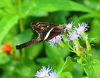 White-Striped Longtail