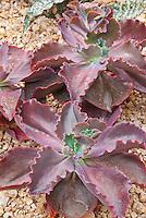 Succulent plant Echeveria Mauna Loa, fleshy red purple leaves in rosettes