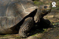 Ecuador, Galapagos Islands, Galapagos giant tortoise (Geochelone elephantopus) (Licence this image exclusively with Getty: http://www.gettyimages.com/detail/sb10069714ad-001 )