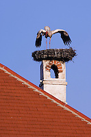 White Stork, Ciconia ciconia, adult calling on nest on chimney,Rust, National Park Lake Neusiedl, Burgenland, Austria, April 2007