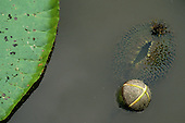 Amazon, Brazil. Vitoria Regia (Victoria amazonica); giant lily pad with flower bud floating on the water.