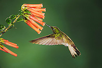 Buff-tailed Coronet (Boissonneaua flavescens), adult feeding from flower,Mindo, Ecuador, Andes, South America