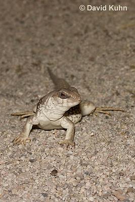 0611-1001  Desert Iguana (Mojave Desert), Dipsosaurus dorsalis  © David Kuhn/Dwight Kuhn Photography