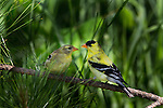 Male and female American goldfinches