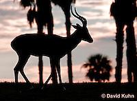0214-08nn  Impala Antelope, Aepyceros melampus © David Kuhn/Dwight Kuhn Photography