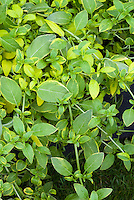 Fuchsia magellanica Variegata, variegated foliage