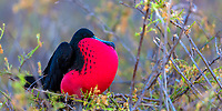 Male great frigatebird with its red gular pouch inflated to attract a female during breeding season, in the Galapagos Islands, Ecuador