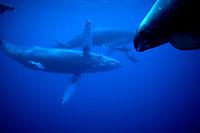 humpback whales, Megaptera novaeangliae, with pygmy killer whales, Feresa attenuata, Mexico, Pacific ocean