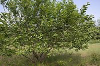Sal-Weide, Salweide, Weide, Salix caprea, Goat Willow, Pussy Willow, Sallow, great sallow, Le Saule marsault, Saule des chèvres