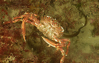Greater spider crab also known as spiny spider crab, Maja squinado, off coast of Ploumanach, North Brittany, North of France, Atlantic Ocean, Europe,