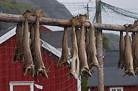 Fische werden im Hafen, Fischereihafen getrocknet, Stockfisch, Klippfisch, Lofoten, Norwegen, Skandinavien, Trockenfisch, Fischerei, Fischereiwirtschaft