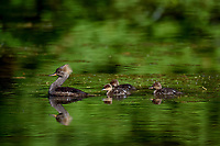 Hooded Mergansers (Aix sponsa).  Female hooded merganser duck with young ducklings in old beaver pond, Hoh River Rainforest, Olympic National Park, WA.  June.