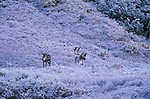 Two caribou stand in the snow in Denali National Park, Alaska.