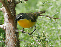 Yellow-breasted chat adult male in juniper tree