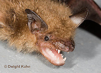 MA20-790z  Big Brown Bat threatening with mouth open showing teeth, Eptesicus fuscus