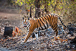 Adult female Bengal Tiger (Panthera tigris) - Reshma (26th April 2009) - patrolling territory. Last seen alive on 30th April, found dead on 6th May. Bandhavgarh NP, India.