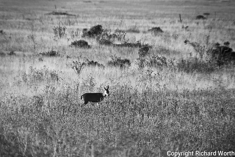 A black-tailed deer pauses while feeding at Ano Nuevo State Reserve on California's Coast.