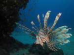 Kenting, Taiwan -- A common lionfish, Pterois volitans, prowling the reef.<br /> <br /> Lionfishes, members of the Scorpaenidae family, are ferocious hunters. They use their poisonous spike-like fins to corner prey, which is then sucked in whole.<br /> <br /> During day time lionfishes often just hover above a sandy bottom. This peaceful movement can be misleading as they are quite capable to pounce on unsuspecting prey with lightning speed over a short distance.<br /> <br /> The poisonous spikes are used only defensively or to corner prey. When the lionfish is left with a way to retreat, divers have nothing to fear.