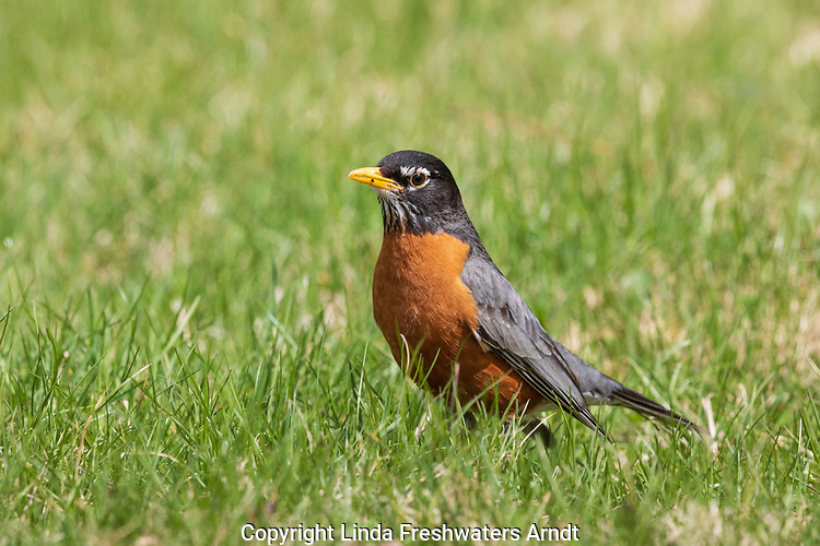 American robin searching for worms in a northern Wisconsin backyard.