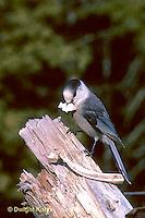 1J01-004z  Gray Jay - Perisoreus canadensis