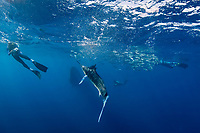 Bryde's whale, Balaenoptera brydei or Balaenoptera edeni, starts to veer away from bait ball of sardines, as striped marlin, Kajikia audax, charges into it to feed, Baja California, Mexico ( Eastern Pacific Ocean ) #3 in sequence of 9