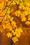 bigtooth maple (Acer grandidentatum), Zion National Park, Utah
