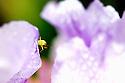 California, Ventura. Beetle on a Dutch Iris in garden. Shot without flash on a tripod.