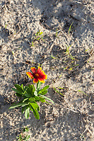 Avon, Outer Banks, North Carolina. Gaillardia Pulchella (Indian Blanketflower, Indian Blanket), Firewheel) in Sandy Soil.