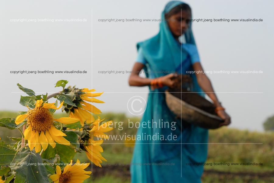 INDIA Madhya Pradesh , organic cotton project bioRe in Kasrawad  , trial farm crop rotation and intercroping with sunflower, woman apply compost / Indien Madhya Pradesh , bioRe Projekt fuer biodynamischen Anbau von Baumwolle in Kasrawad , Versuchsfarm Fruchtfolge und Zwischenfrucht Sonnenblume, Frau bringt Kompost aus
