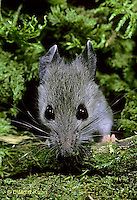 MU29-068z  Deer Mouse - immature young -  Peromyscus maniculatus